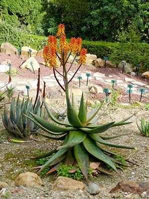 Aloes_Flor1-P