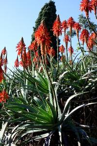 Aloe_arborescens_11W