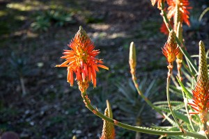 Aloe_arborescens_5W
