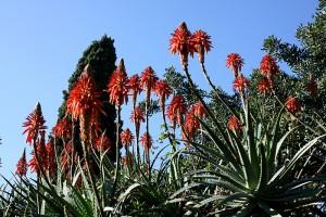 Aloe_arborescens_9W